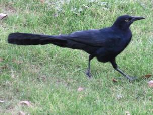 Long-tailed strut. Looking fierce!