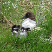 Common Goldeneye Ducklings