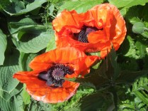 I think these are poppies
