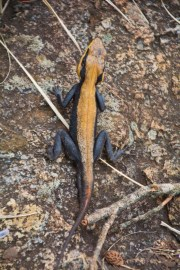 Lizard in coonoor