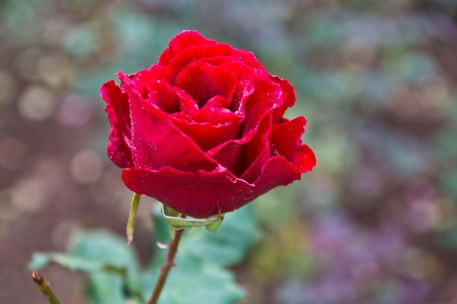 Rose in Rose garden Ooty
