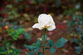 White rose in Rose garden Ooty