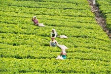 Women in Tea gardens on the way from Ooty to Metupalaiyam