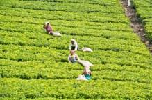 Women in Tea gardens on the way from Ooty to Metupalaiyam