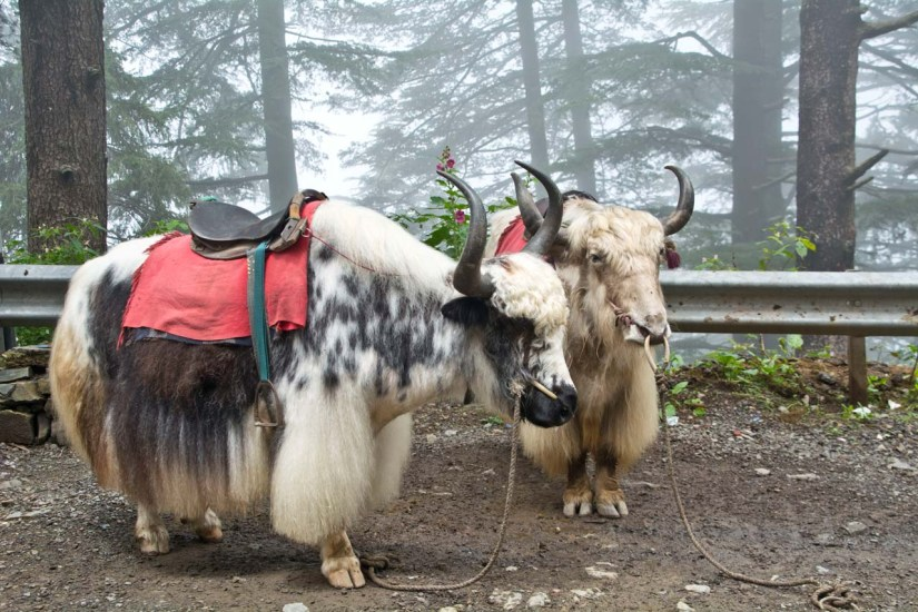Pair of White Yak on the way from Shimla to Kufri