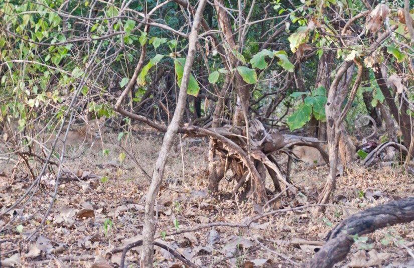 Lioness and Cubs behind trees