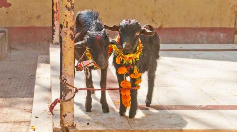 Animals for sacrifice in Kamakhaya temple Guwahati