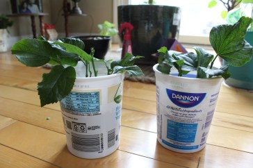 potted cuttings