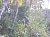 Le Kingfisher, oiseau emblématique d'ici Kerala, © ChPL / dec 2013