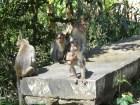 singes rencontrés en bordure de la jungle, en route vers Munnar / Kerala © ChPL Mysore05 / dec 2013