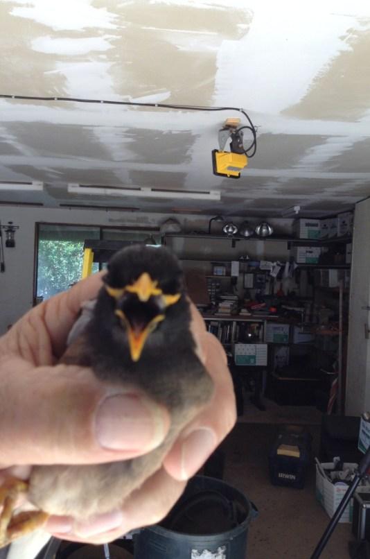 myna-bird