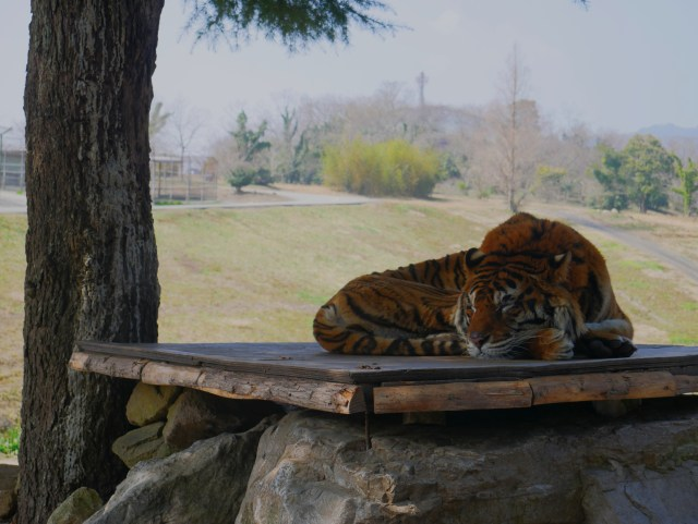 a tiger laying in the shade on a safari tour in the Japanese countryside