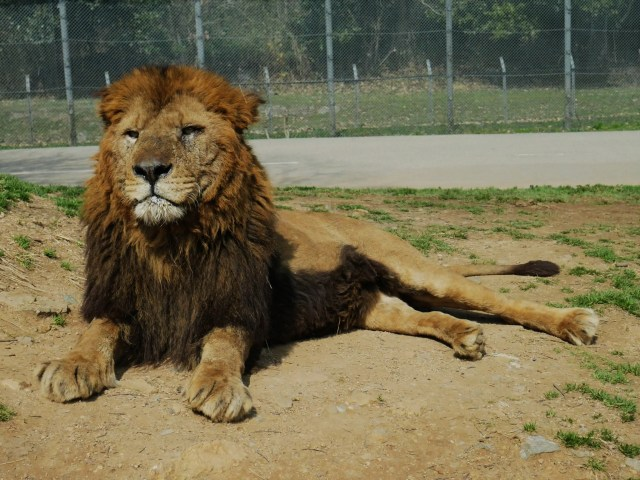 a male lion basking in the sun