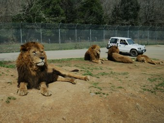 a trio of lions laying down as a car drives past