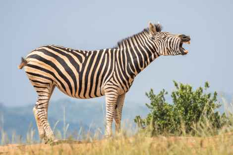 a zebra will shake its body to release energy and heal itself; neurogenic tremors