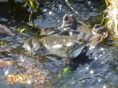 Charlotte Wiles Frogs and Spawn 3