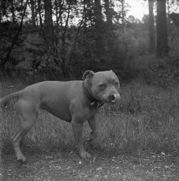 Yashica 44 TLR rerapan 100 127 format film b&w staffy dog forest walking licking