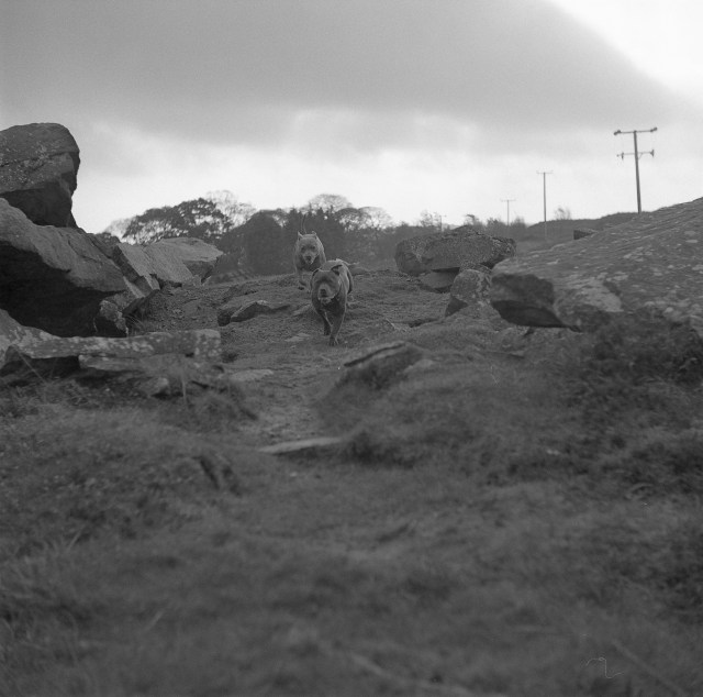 yashica 635 tlr ilford HP5 yorkshire moors dogs outside