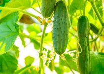 Is Cucumber a Fruit? Get The Right Answer Here