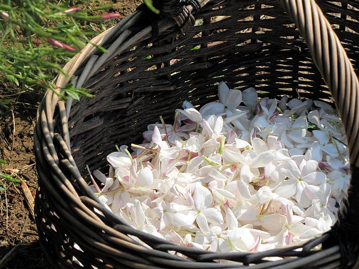 pruning a confederate jasmine