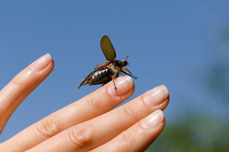 Do June Bugs Fly?