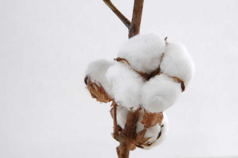 What is Cotton Bolls?