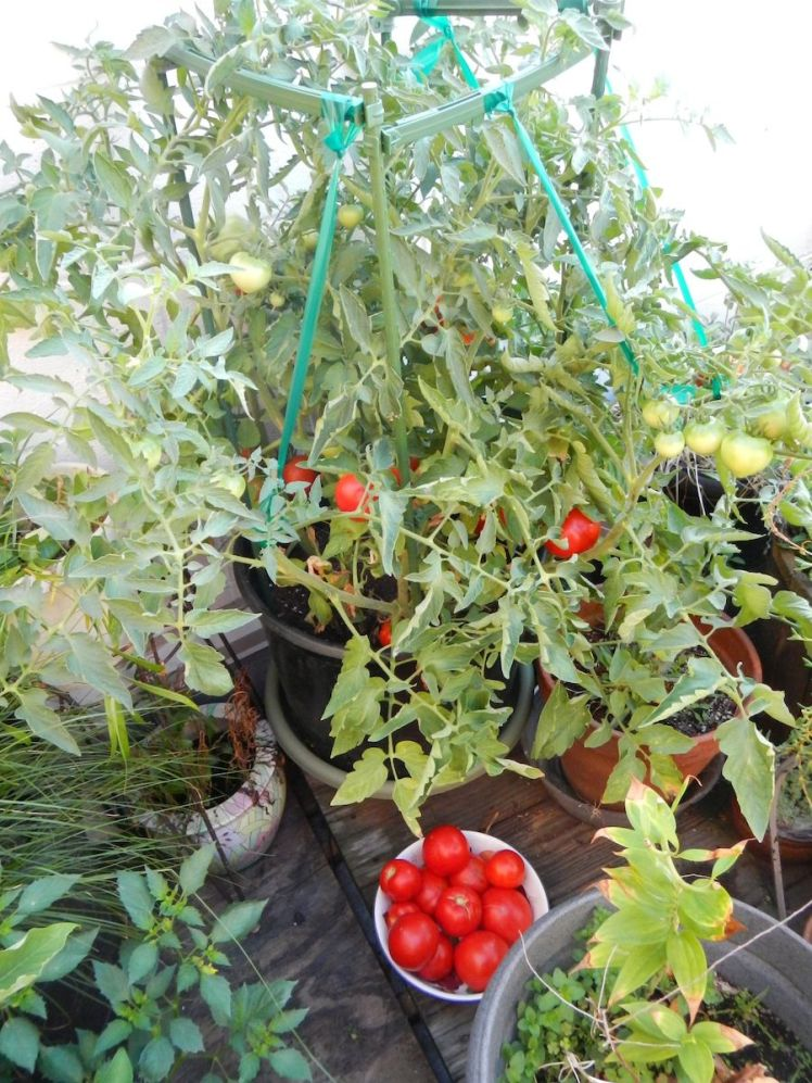 How to Take Care Better Boy Tomatoes