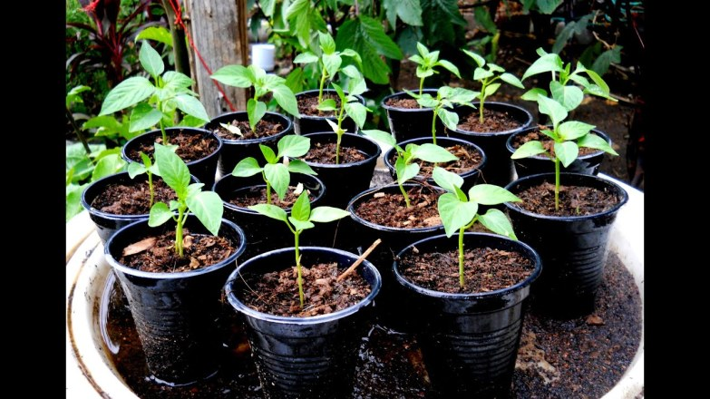 Bell Pepper Seeds Germination