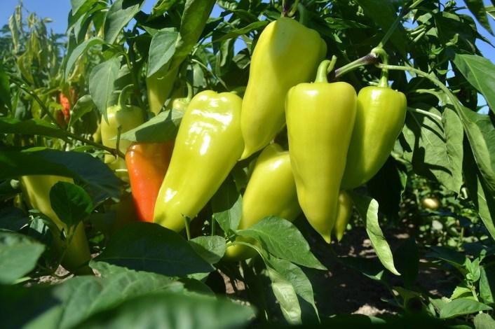 How Long Do Bell Pepper Plants Live Outdoors?