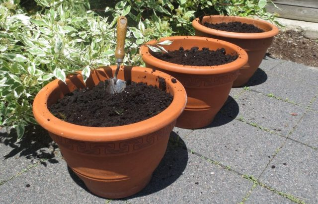 How To Transplant Asparagus Pots