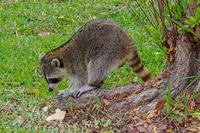 Do Raccoons Eat Field Corn?