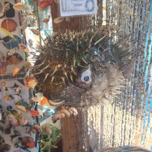 Dead, very dead puffer fish.