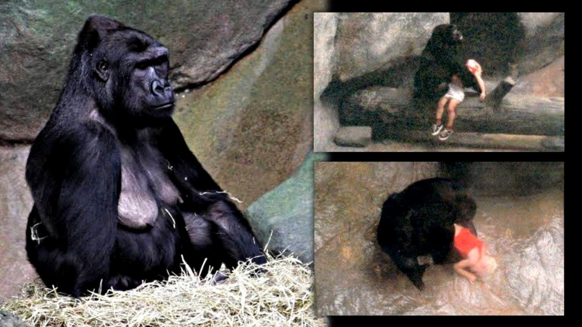 Binti Jua: This female gorilla saved a child who fell into her zoo enclosure 6