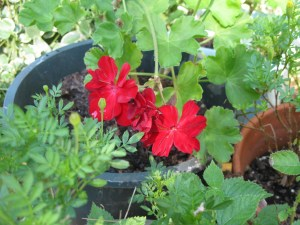 Geraniums always make me think of my mom and grandma.