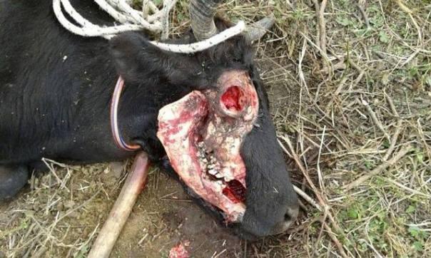 La fotografía es impactante, así quedó la vaca en el campo de Dardo Arreguez. La forma en la que se encuentra mutilado el animal es idéntica a todas las fotografías con las que conocíamos las vacas mutiladas hace 15 años en Argentina.
