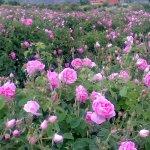Micaloz sees Isparta roses