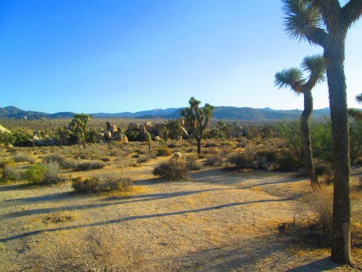 The Joshua trees cast shadows along the desert ground.