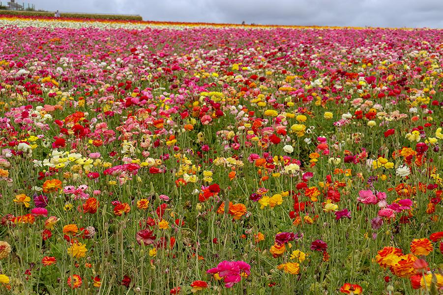KarlaVargas-SanDiego-FlowerFields-RedDress-SummerDress-SummerStyle-PolkaDot-PolkaDotDress-PolkaDress-RedDress-Flowers-SanDiegoFlowerFields