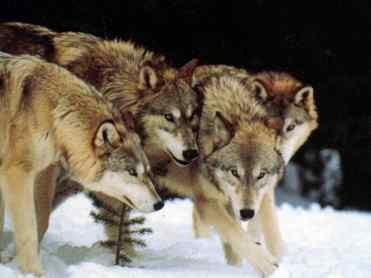 wolf_8_big