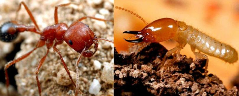 Termites vs. Harvester Ants