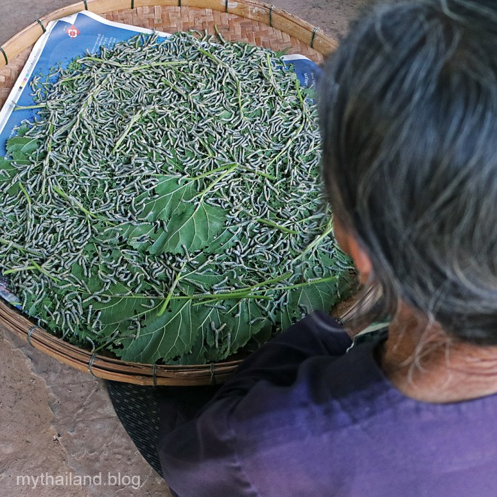 Silkworms eating mulberry leaves in Ban Phon, Kalasin Province