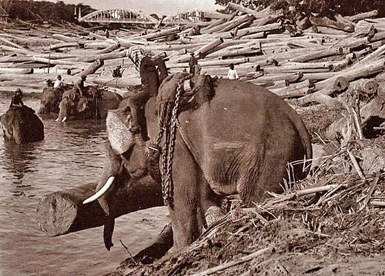 1920. Thailand elephants working logging teak