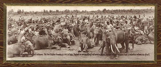 1955. The First Surin, Thailand elephant round-up.