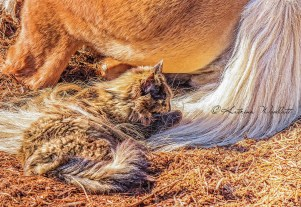 cat lying in horse's tail