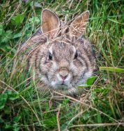 cottontail-0772-