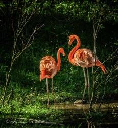 two-flamingoes-7688-