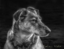 head shot of sitting dog in black and white