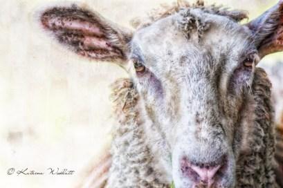 head shot of sheep