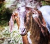 headshot of goat