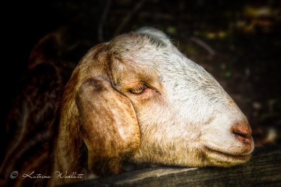 head shot of goat